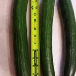 Cucumber 5